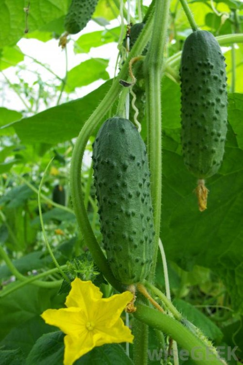 cucumber for your health