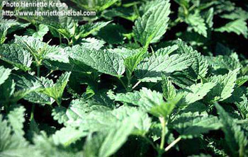 Mint leaf for health care.