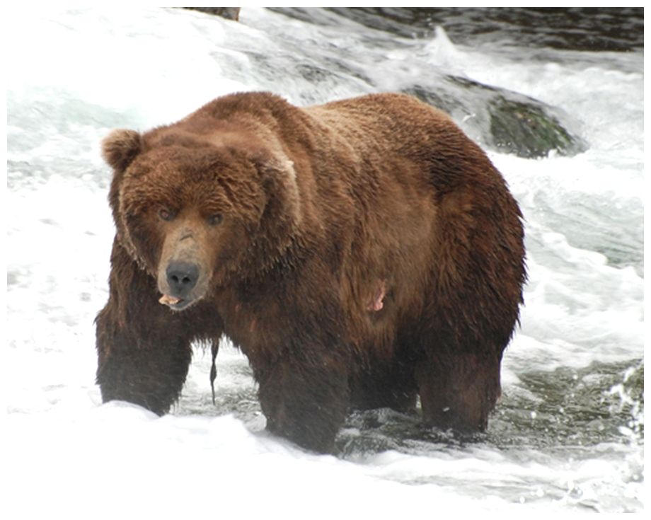Biggest Bear in Katmai National Park
